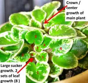 African Violet Suckers: What Are They and Removal? - Baby Violets