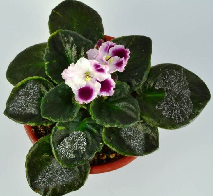 Powdery Mildew on African Violet Plants