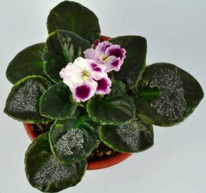 Powdery Mildew on African Violet Plants