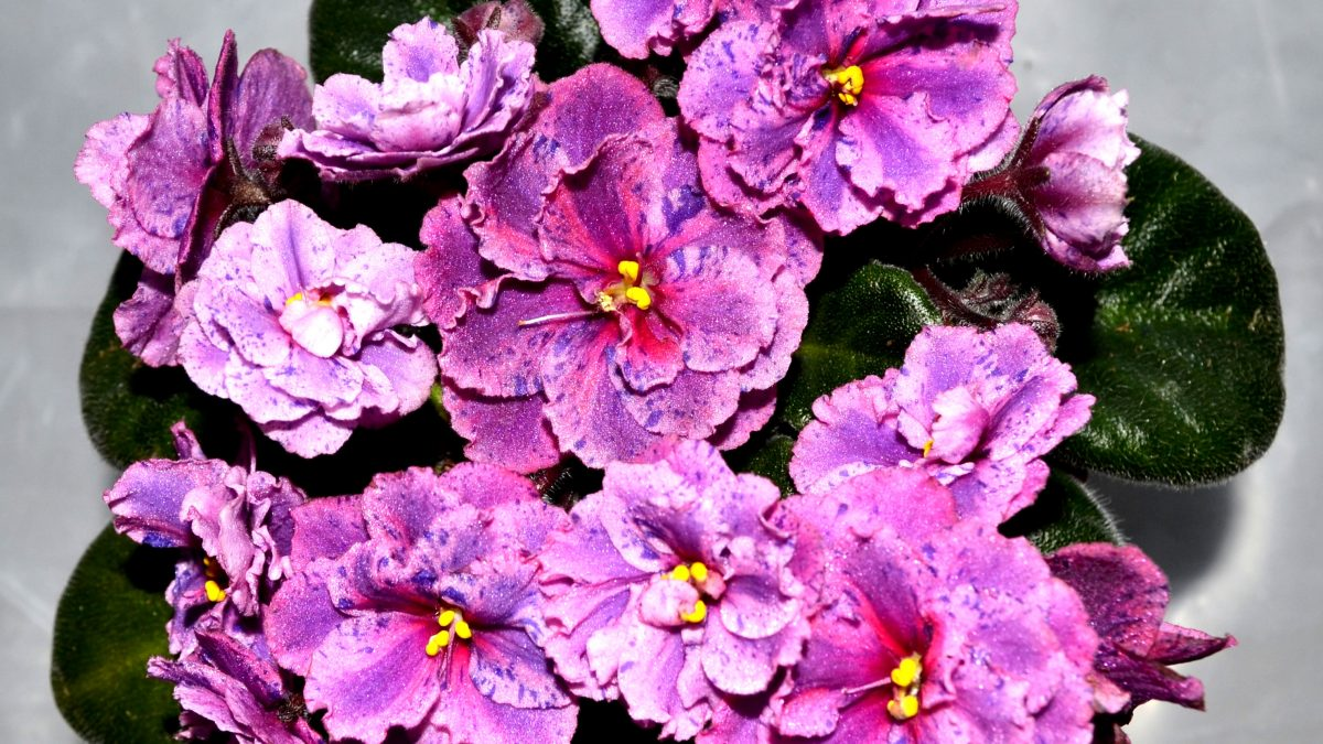 Ideal Conditions to Grow African Violet Plants