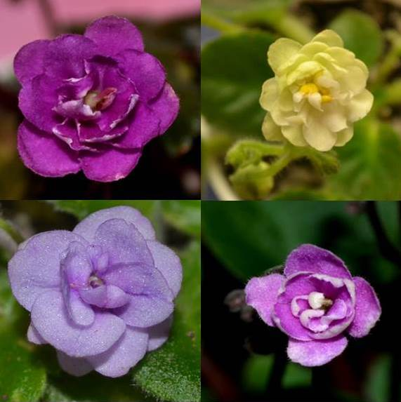 What are the Different Shapes of African Violet Flowers?