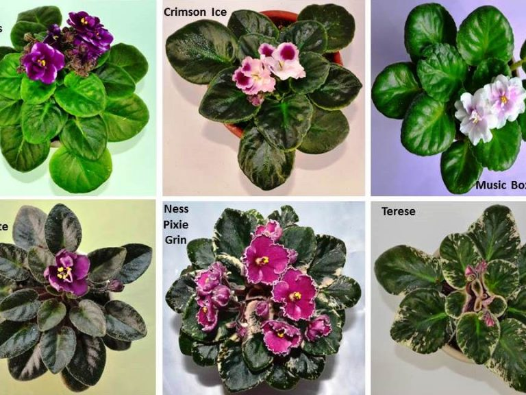 What are the Different Types of African Violet Plants?