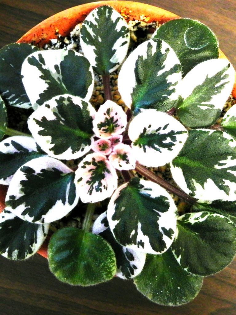 African Violets, what are they?