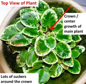 African Violet Suckers: What Are They and Removal?