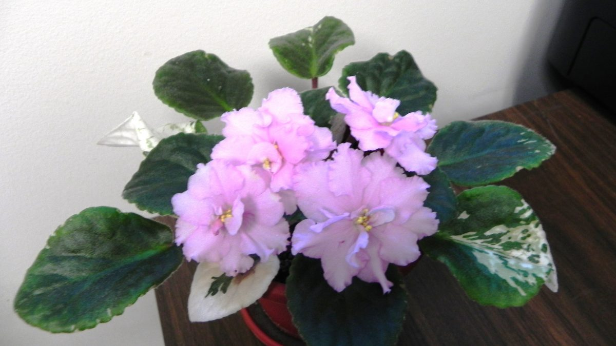 Natural Light for African Violet Plants