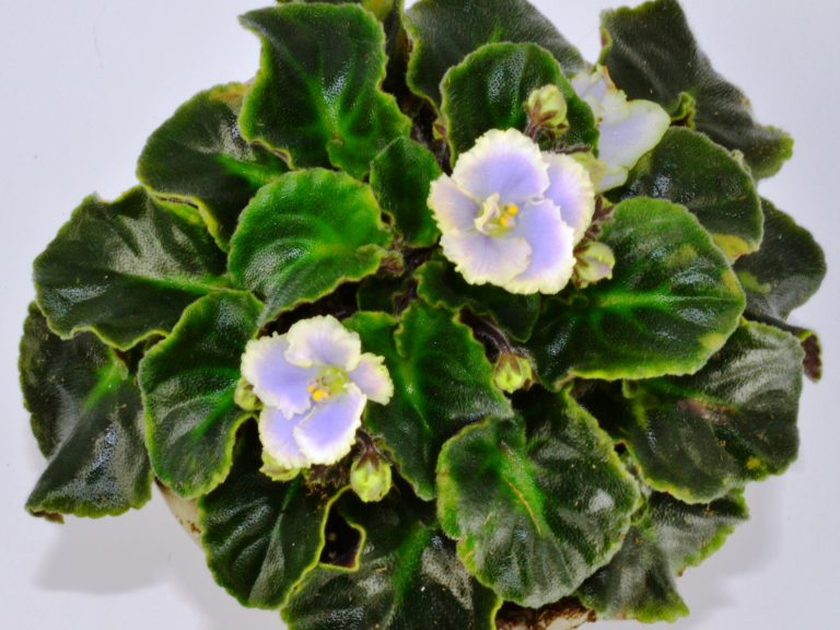 Yellow Leaves on African Violet Plants
