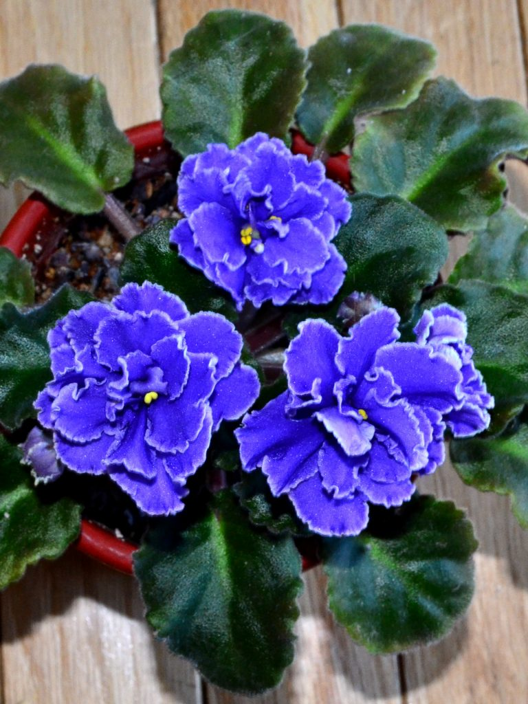 History of African Violet Plants