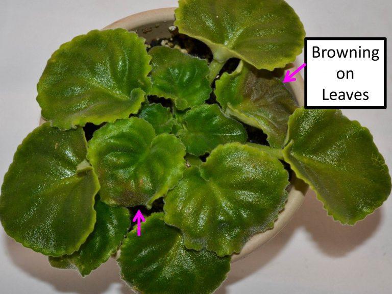 Brown Leaves on African Violet Plants