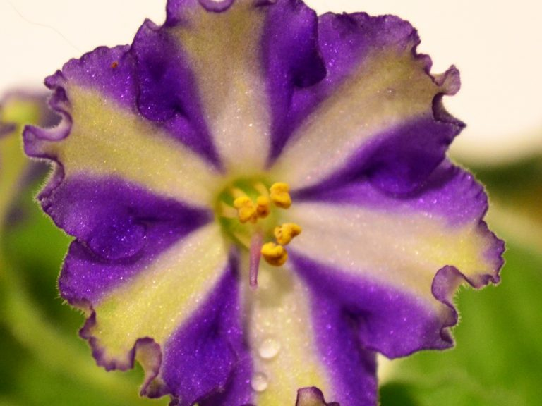 African Violet Chimera Flowers