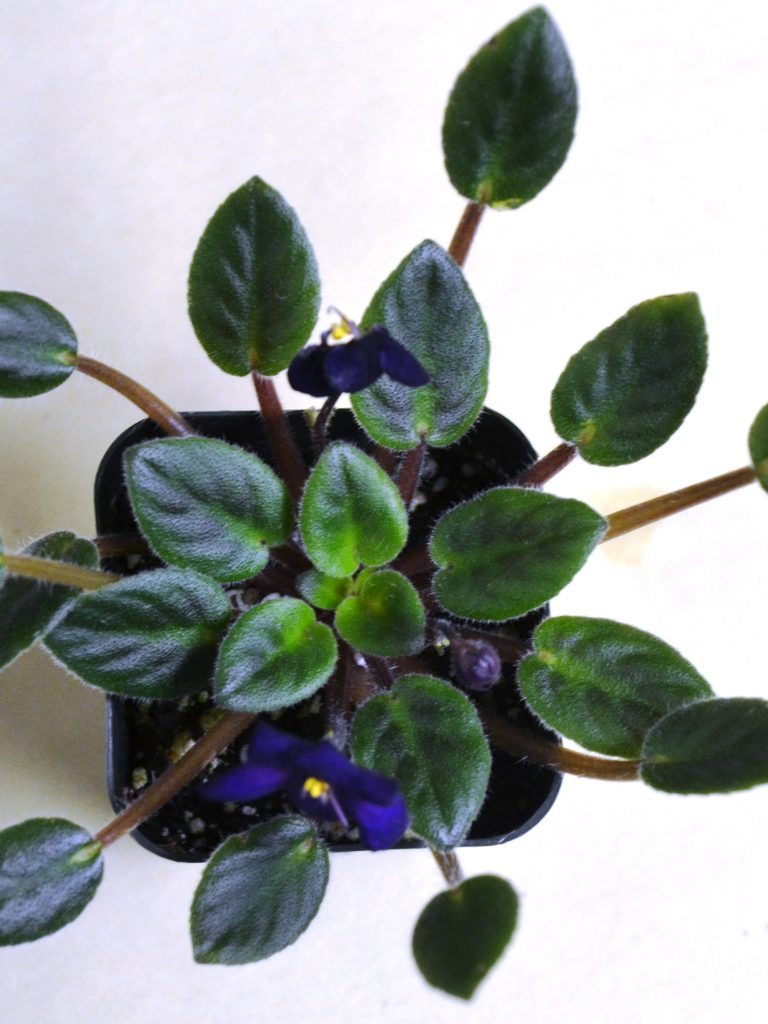 Growing African Violets Under Low Light: Symptoms?