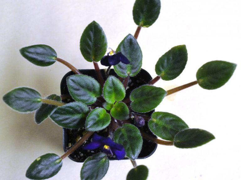 Growing African Violets Under Low Light: Symptoms?