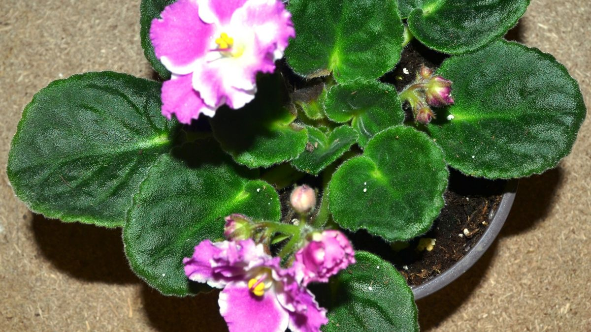 African Violet Society of America and Local AV Clubs
