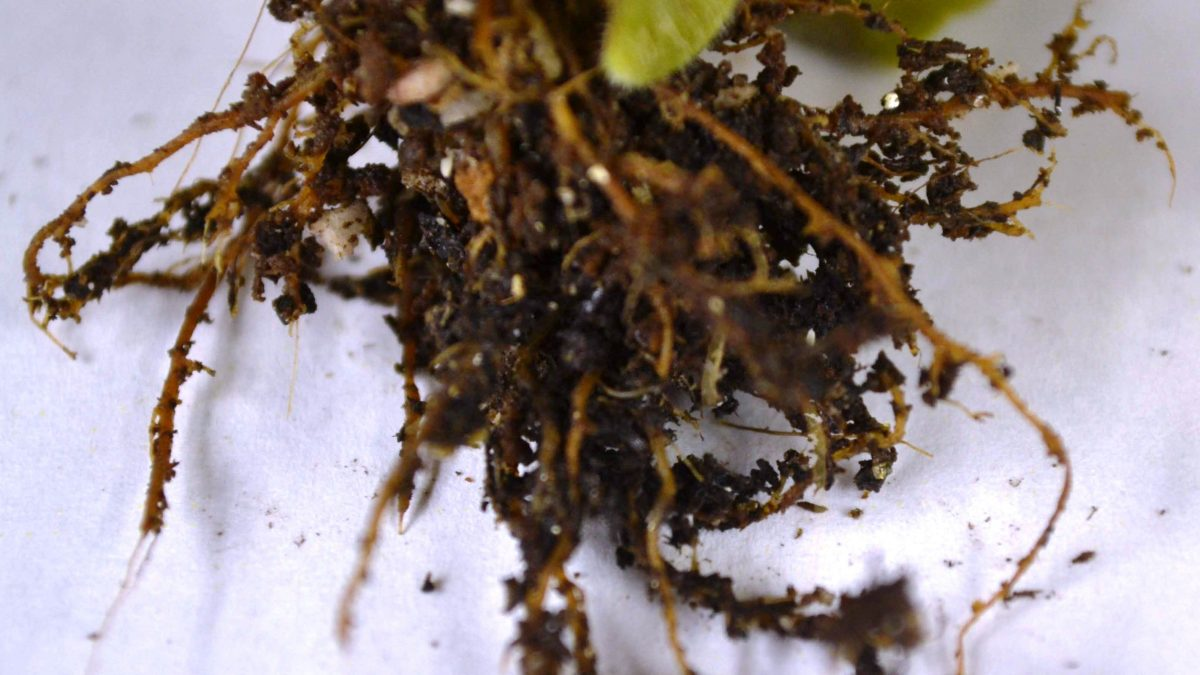 Root Rot on African Violet Plants
