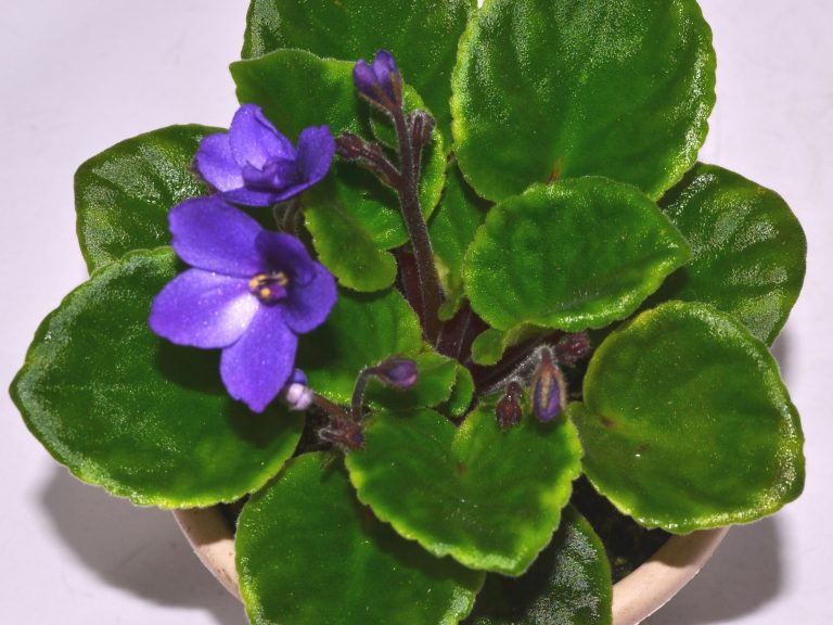 African Violet Show Plants: How To Begin?