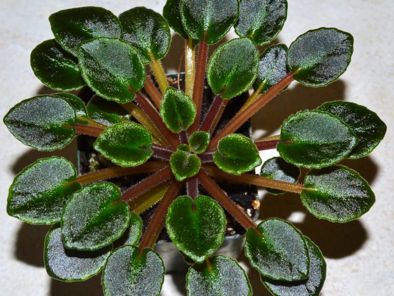 How To Groom African Violet Plants?