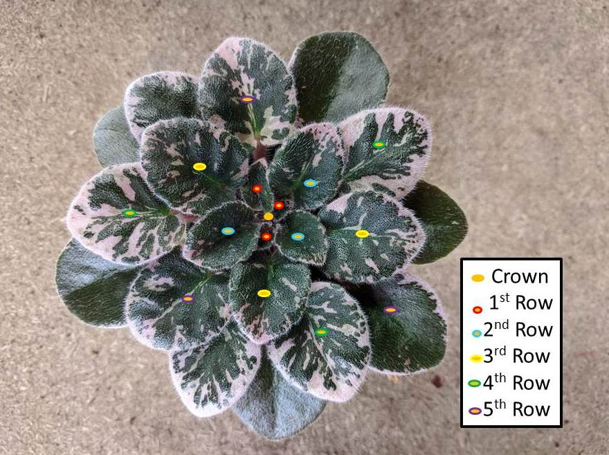 How To Count Leaf Rows (Whorls Of Leaves) On African Violet Plants?