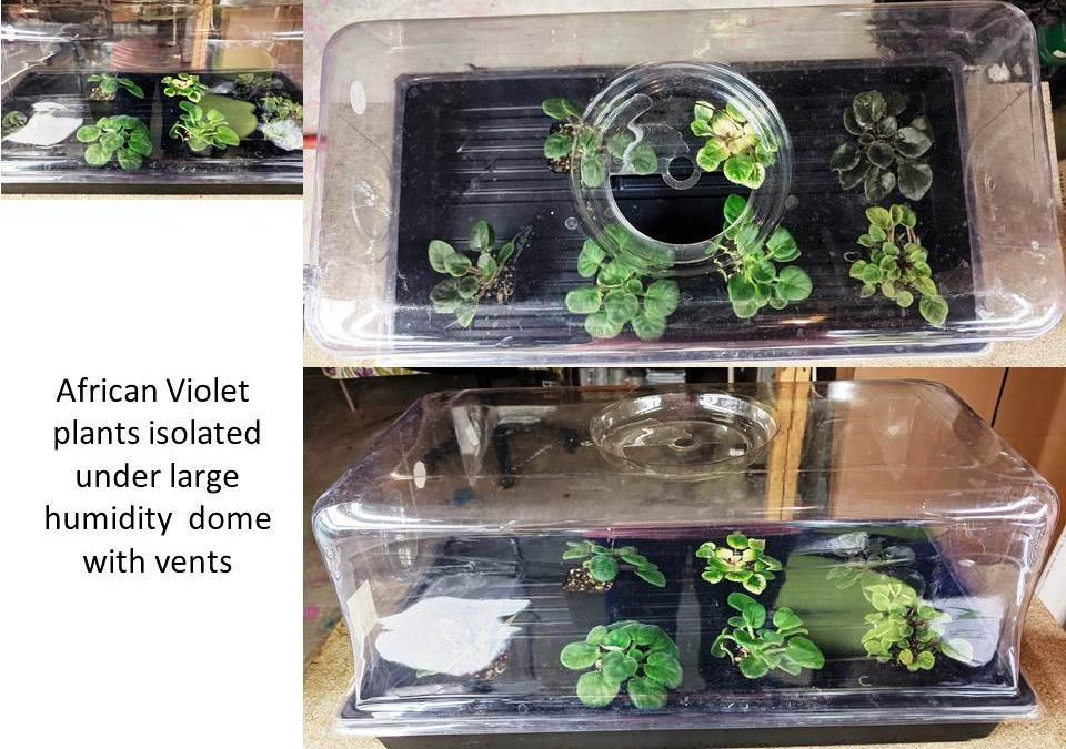What To Do When Bringing Home A New African Violet Plant?