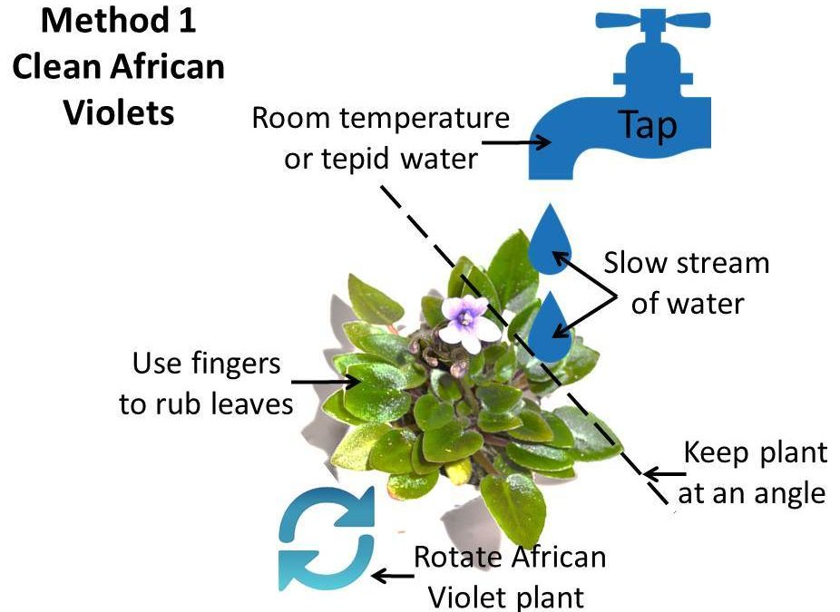 Cleaning African Violet Plants, Why & How To?