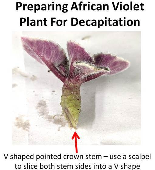 Decapitating African Violet Crowns, Why And How?