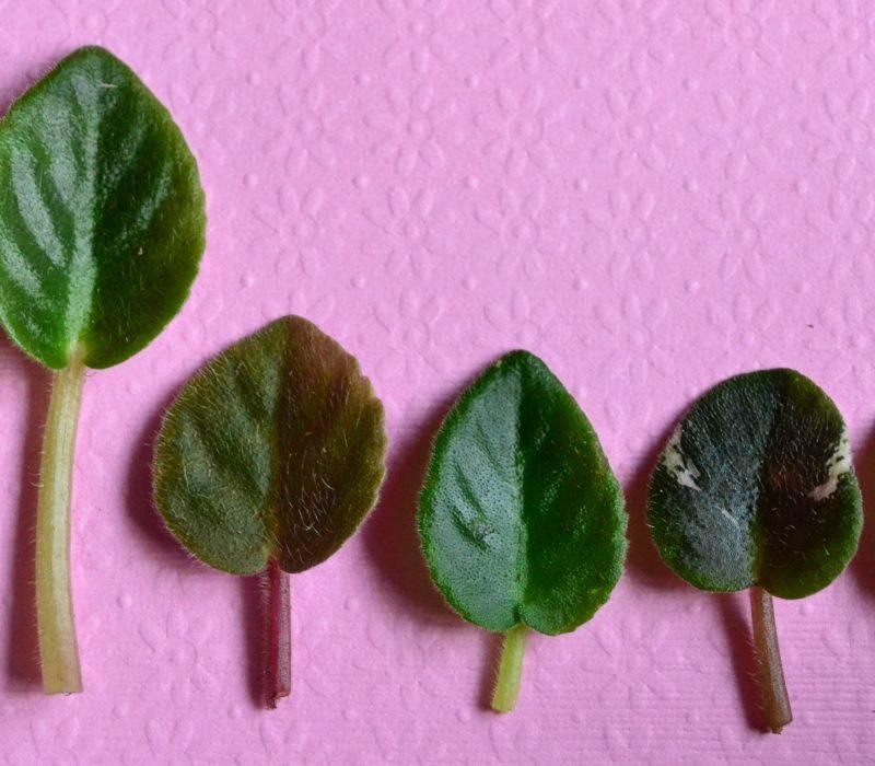 African Violet Pointed Leaf Type